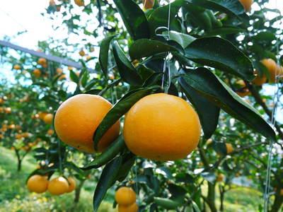 """究極の柑橘「せとか」 今週末の急激な""""寒""""に備え匠は一切の手を抜かず準備をしていました!_a0254656_17384914.jpg"""