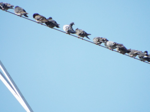 高圧線に鳩の大群が_c0329378_17545945.jpg