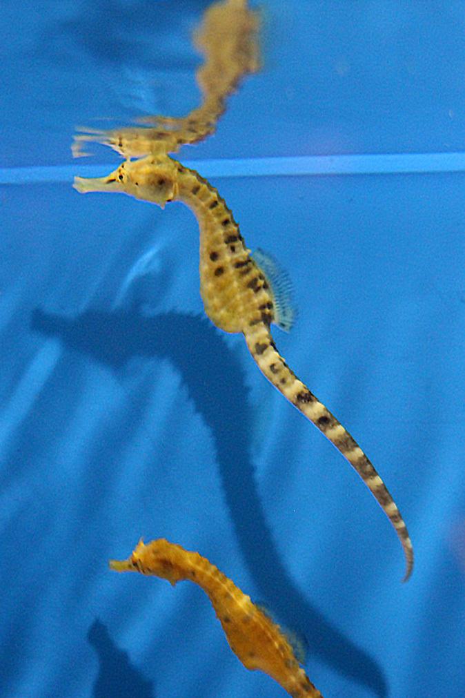 しながわ水族館:珍しい魚たち~タツノオトシゴとカワテブクロ_b0355317_22172886.jpg