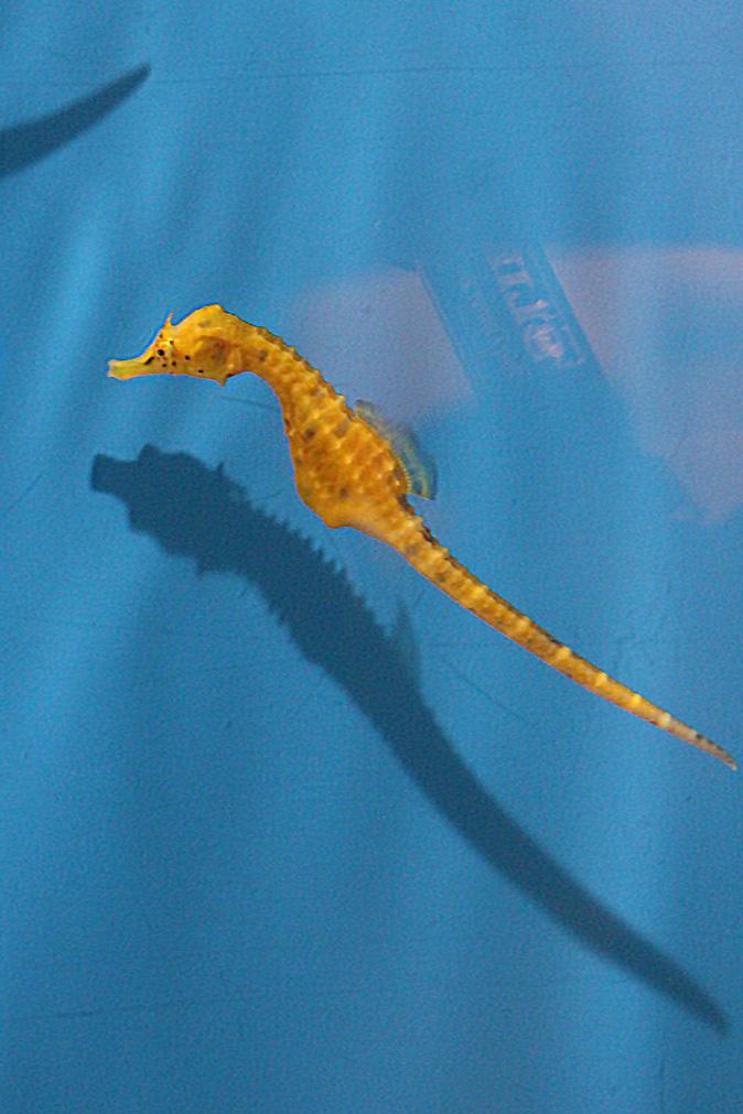 しながわ水族館:珍しい魚たち~タツノオトシゴとカワテブクロ_b0355317_22224501.jpg