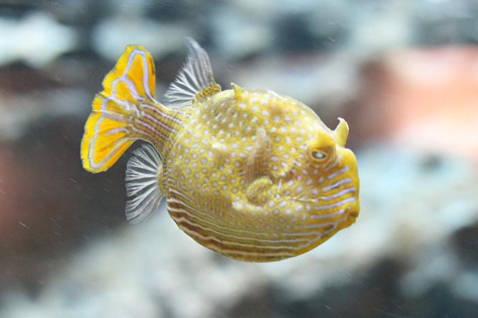 しながわ水族館:珍しい魚たち~タツノオトシゴとカワテブクロ_b0355317_22260323.jpg