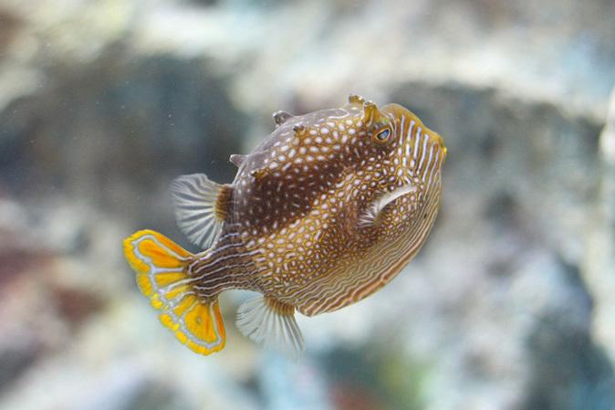 しながわ水族館:珍しい魚たち~タツノオトシゴとカワテブクロ_b0355317_22312175.jpg