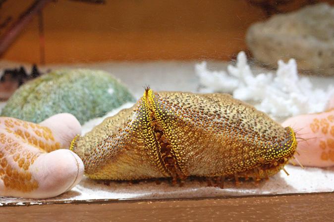 しながわ水族館:珍しい魚たち~タツノオトシゴとカワテブクロ_b0355317_22415694.jpg