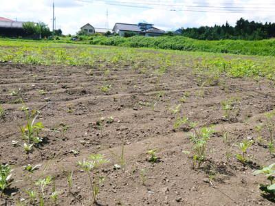 菊池水源里山ニンジン 平成28年度の無農薬・無化学肥料栽培のニンジンの発送をスタートします!_a0254656_18492733.jpg