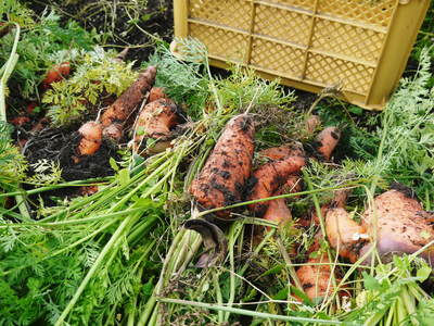 菊池水源里山ニンジン 平成28年度の無農薬・無化学肥料栽培のニンジンの発送をスタートします!_a0254656_1995879.jpg
