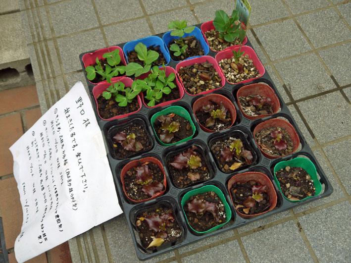 町内の方からいただいたサニーレタスの苗植え付け12・16_c0014967_1825397.jpg