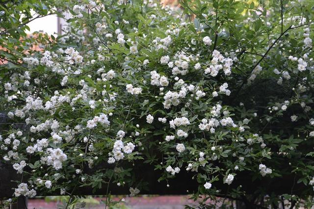 再び春画像…4月30日-5月1日の庭。_c0124100_19551881.jpg