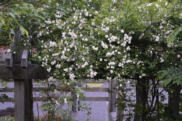 再び春画像…4月30日-5月1日の庭。_c0124100_19553251.jpg