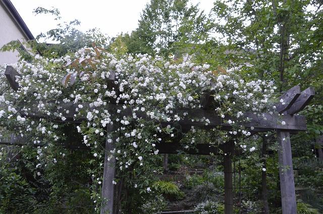 再び春画像…4月30日-5月1日の庭。_c0124100_19555169.jpg