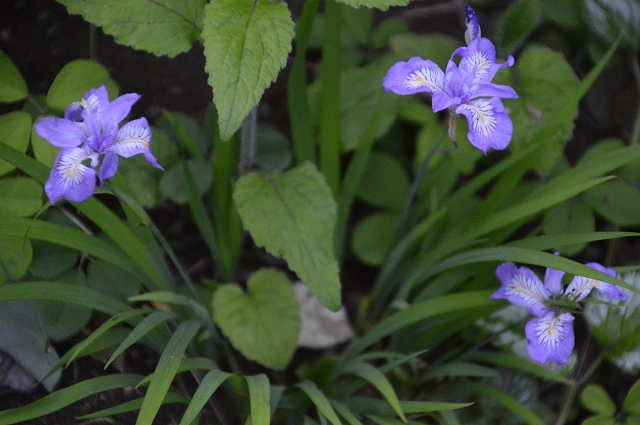 再び春画像…4月30日-5月1日の庭。_c0124100_19564026.jpg