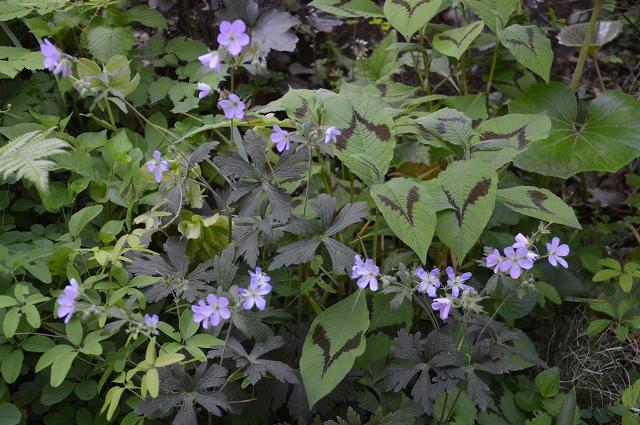 再び春画像…4月30日-5月1日の庭。_c0124100_19572637.jpg