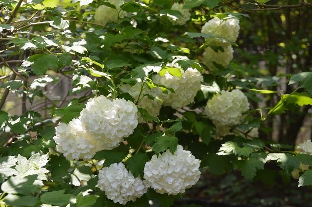再び春画像…4月30日-5月1日の庭。_c0124100_19594952.jpg