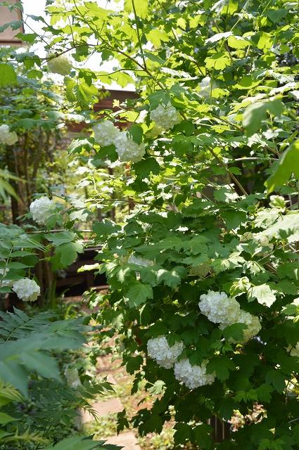 再び春画像…4月30日-5月1日の庭。_c0124100_19595990.jpg
