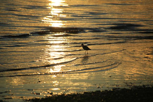 夕日のオオソリハシシギ_c0104227_00033350.jpg