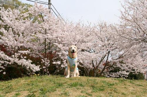 桜とえびす_e0364854_17205756.jpg