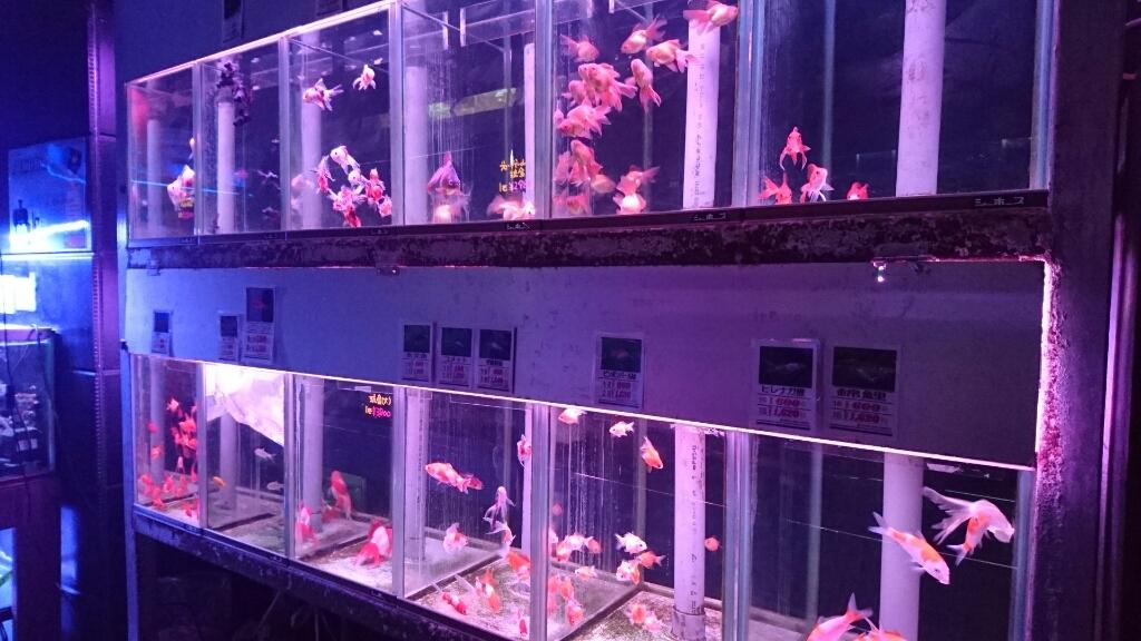 金魚コーナーが増えてる…_b0298605_00091001.jpg