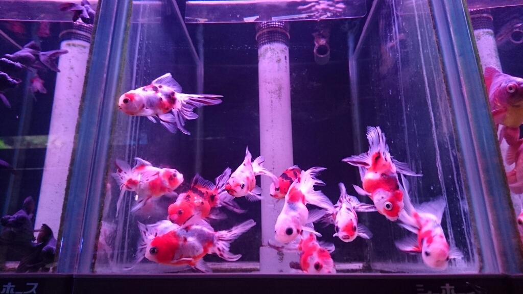 金魚コーナーが増えてる…_b0298605_00091263.jpg