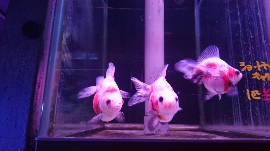 金魚コーナーが増えてる…_b0298605_00091411.jpg