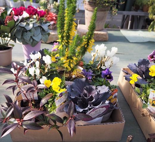 新春を寿ぐ寄せ植えを作りましょう!_f0139333_22243071.jpg
