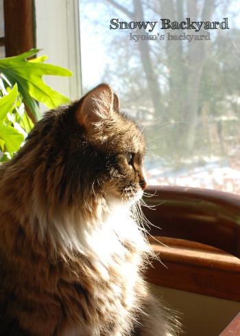 雪に覆われた裏庭を眺める猫_b0253205_09352059.jpg