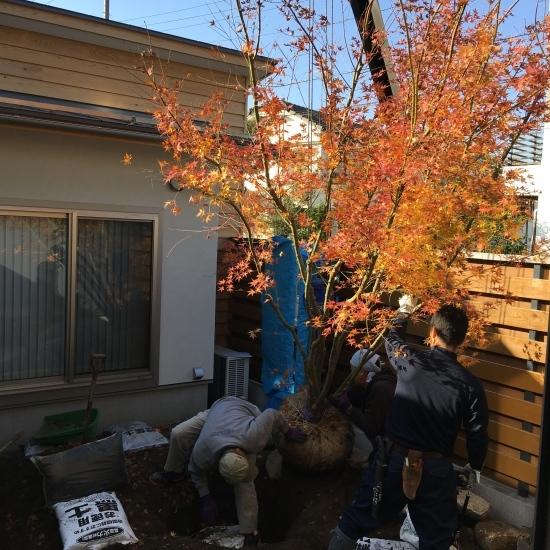 【東埼玉の家】中庭にイロハモミジが入りました_e0132960_11314224.jpg