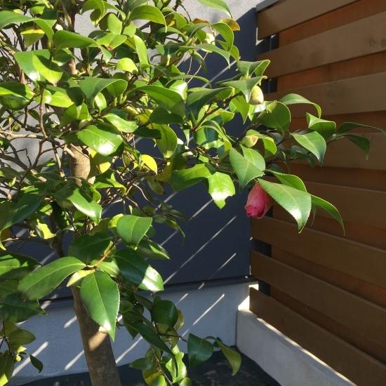 【東埼玉の家】中庭にイロハモミジが入りました_e0132960_11332222.jpg