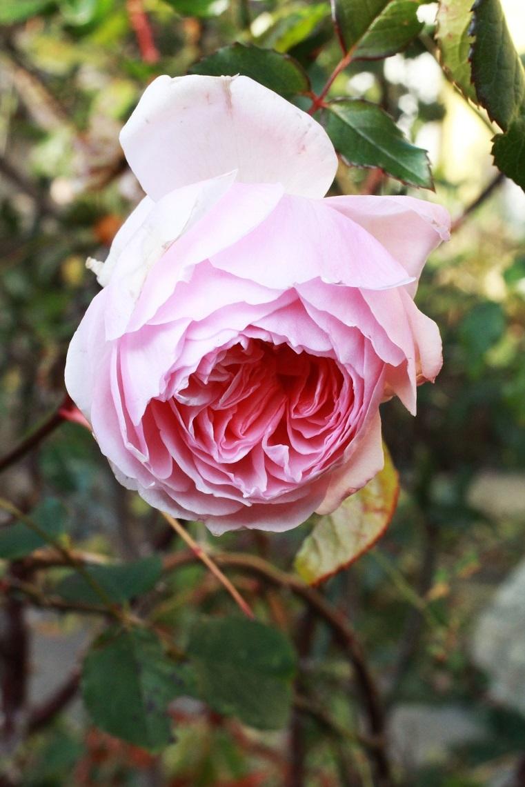 優等生の薔薇たち~エマ・ハミルトン、ザ・ウエッジウッド・ローズ~_a0107574_18521029.jpg