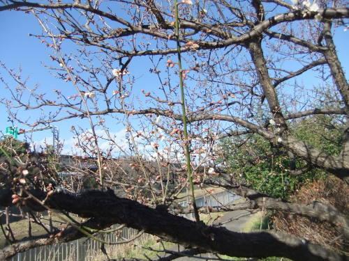 師走...梅の花が咲きました。_b0137932_13525925.jpg