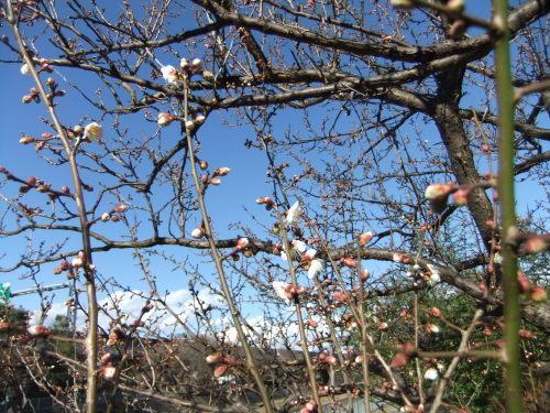 師走...梅の花が咲きました。_b0137932_13534202.jpg