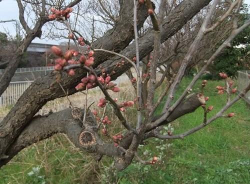 師走...梅の花が咲きました。_b0137932_13553034.jpg