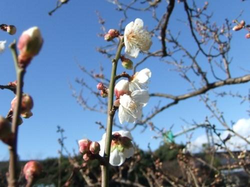 師走...梅の花が咲きました。_b0137932_14083323.jpg