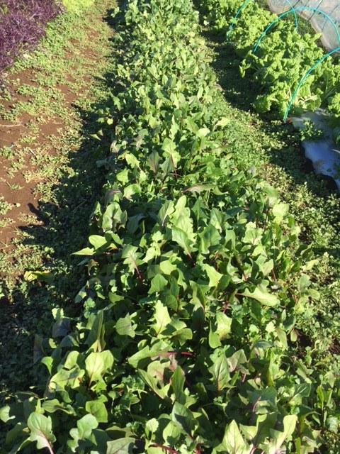今朝はNさんご夫妻 Bさんが畑に参加・・飯田とで4人作業です_c0222448_11271749.jpg