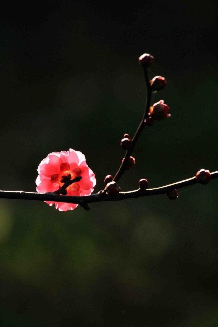 梅の開花はいつ  ~紅梅のつぼみ、ビワの花~_a0107574_17101902.jpg