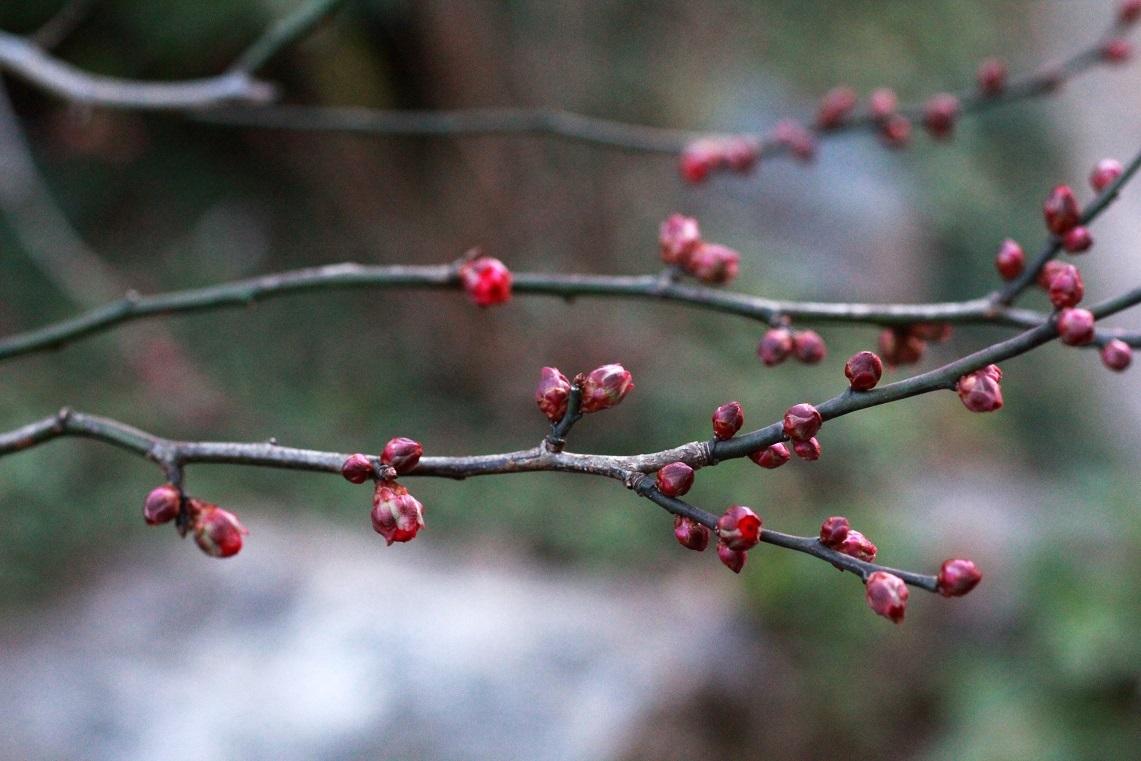 梅の開花はいつ  ~紅梅のつぼみ、ビワの花~_a0107574_17103987.jpg