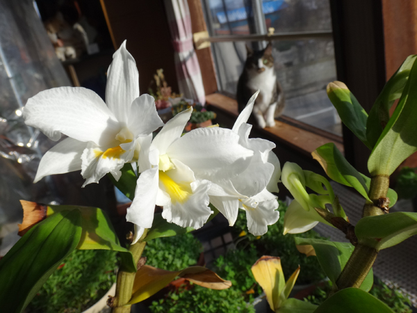 猫部屋の花たち、中々咲かないオキザリスなど~♪_a0136293_18543686.jpg