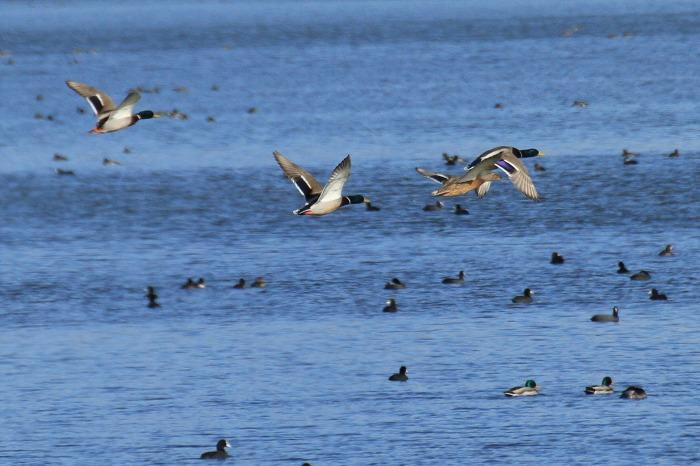 北潟湖の鳥達_c0155950_23583323.jpg