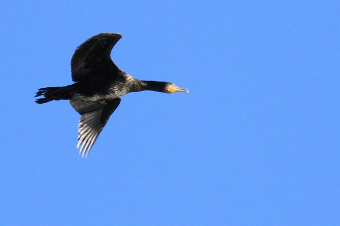 北潟湖の鳥達_c0155950_23592648.jpg