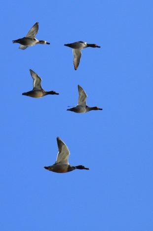 北潟湖の鳥達_c0155950_2359521.jpg
