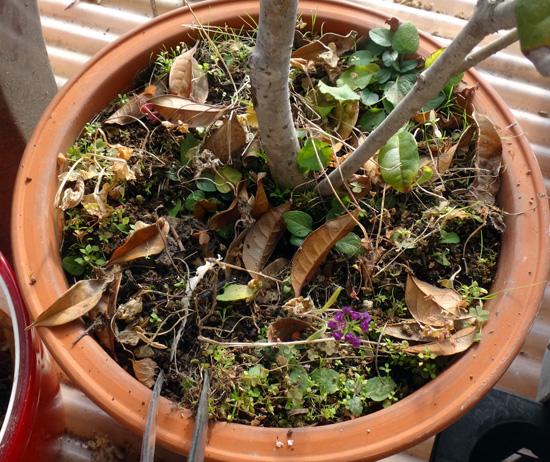 穏やかな冬の日の鉢の手入れ^^ 金木犀にびっしりの草♪_a0136293_18562097.jpg