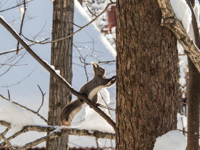 カラマツの枝に積もった雪を落としながら・・エゾリス君がやって来る!_f0276498_22245937.jpg