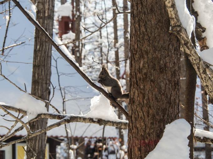 カラマツの枝に積もった雪を落としながら・・エゾリス君がやって来る!_f0276498_22265794.jpg