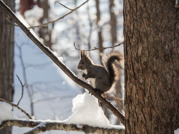 カラマツの枝に積もった雪を落としながら・・エゾリス君がやって来る!_f0276498_22271575.jpg