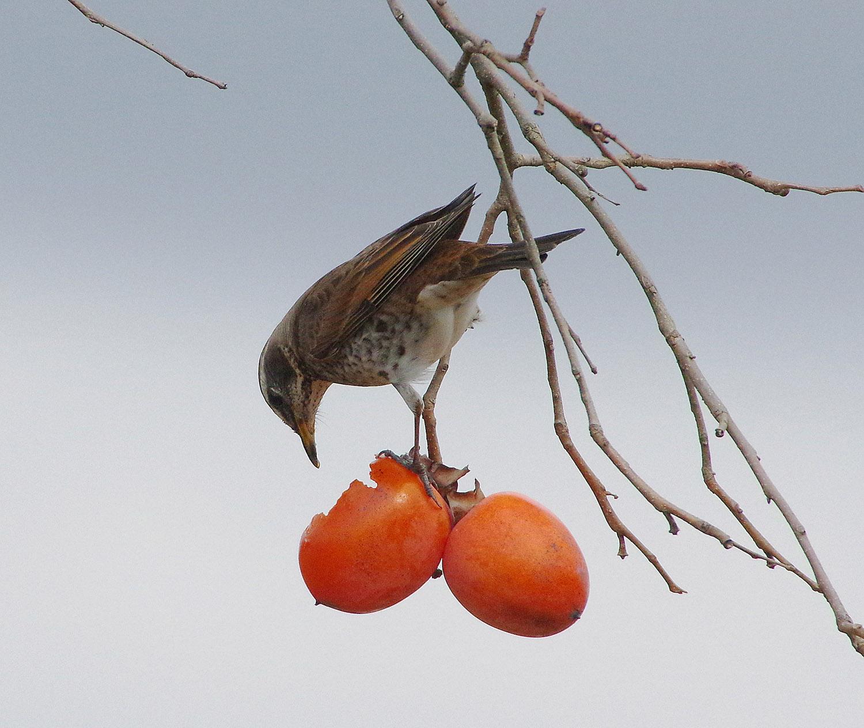 柿とツグミ_f0215767_17231813.jpg