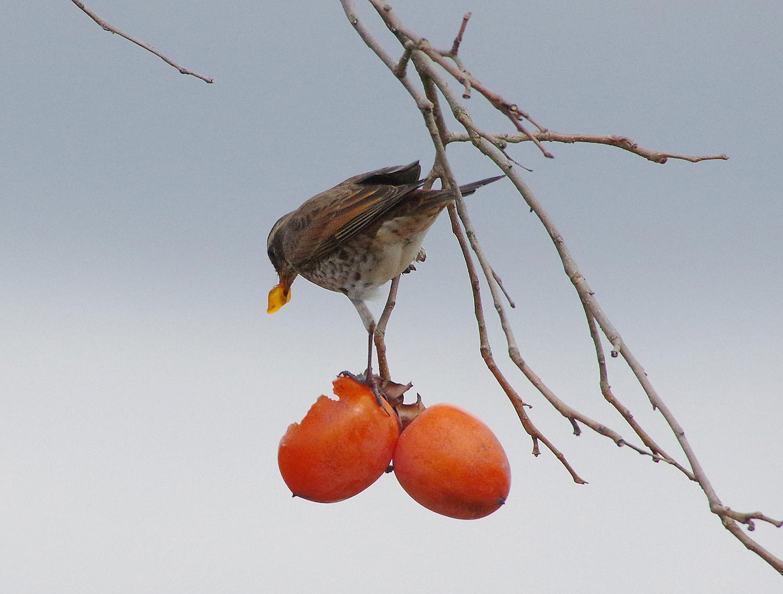 柿とツグミ_f0215767_17233978.jpg