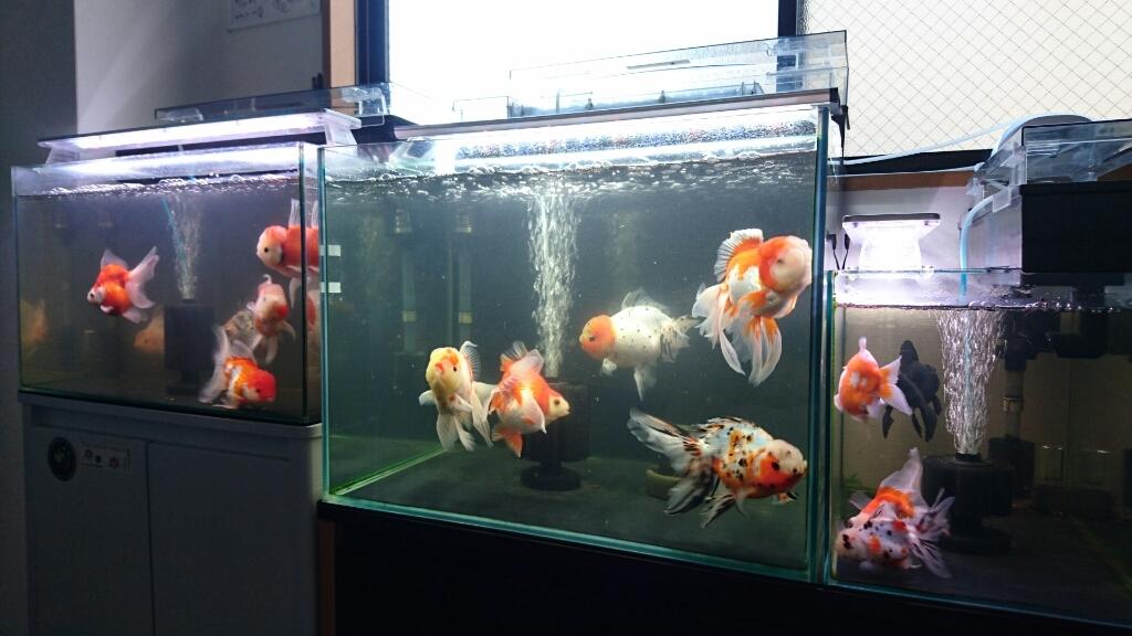ここ一年で金魚が入れ替わっている…。_b0298605_22015607.jpg