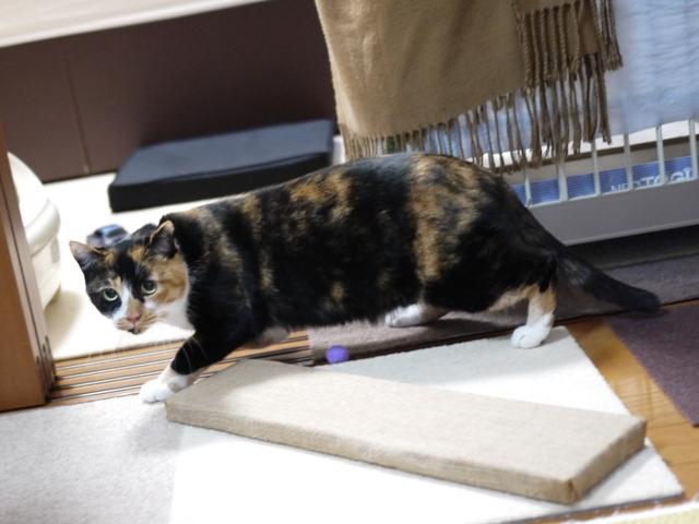猫のお留守番 ごまちゃん編。_a0143140_22194314.jpg