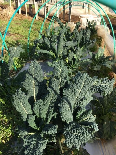 今日で畑仕事納めです ブロッコリー 小松菜 菜の花 カーヴォロネーロ レタス ルッコラを中心に収穫です_c0222448_12582690.jpg