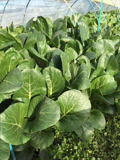 今日で畑仕事納めです ブロッコリー 小松菜 菜の花 カーヴォロネーロ レタス ルッコラを中心に収穫です_c0222448_14330870.jpg