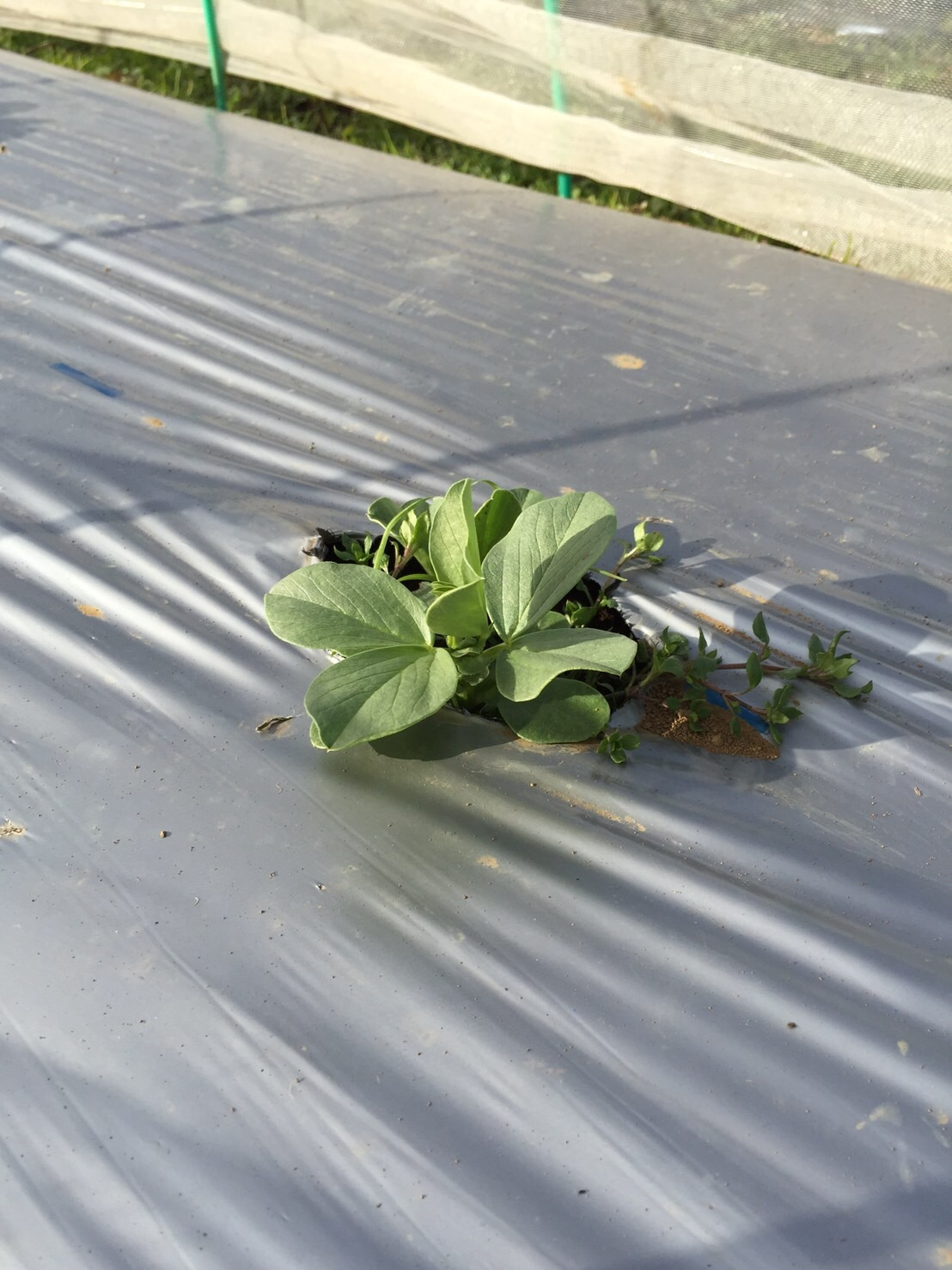 今日で畑仕事納めです ブロッコリー 小松菜 菜の花 カーヴォロネーロ レタス ルッコラを中心に収穫です_c0222448_14333847.jpg