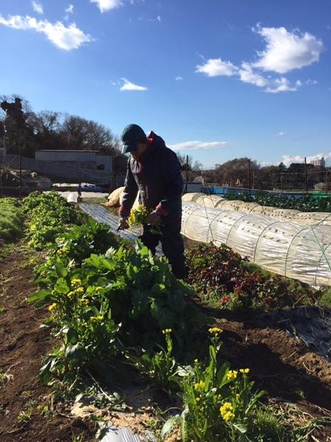 今日で畑仕事納めです ブロッコリー 小松菜 菜の花 カーヴォロネーロ レタス ルッコラを中心に収穫です_c0222448_14375996.jpg